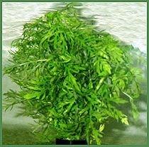 Premium Wisteria, Bunched Plant, Size: 8