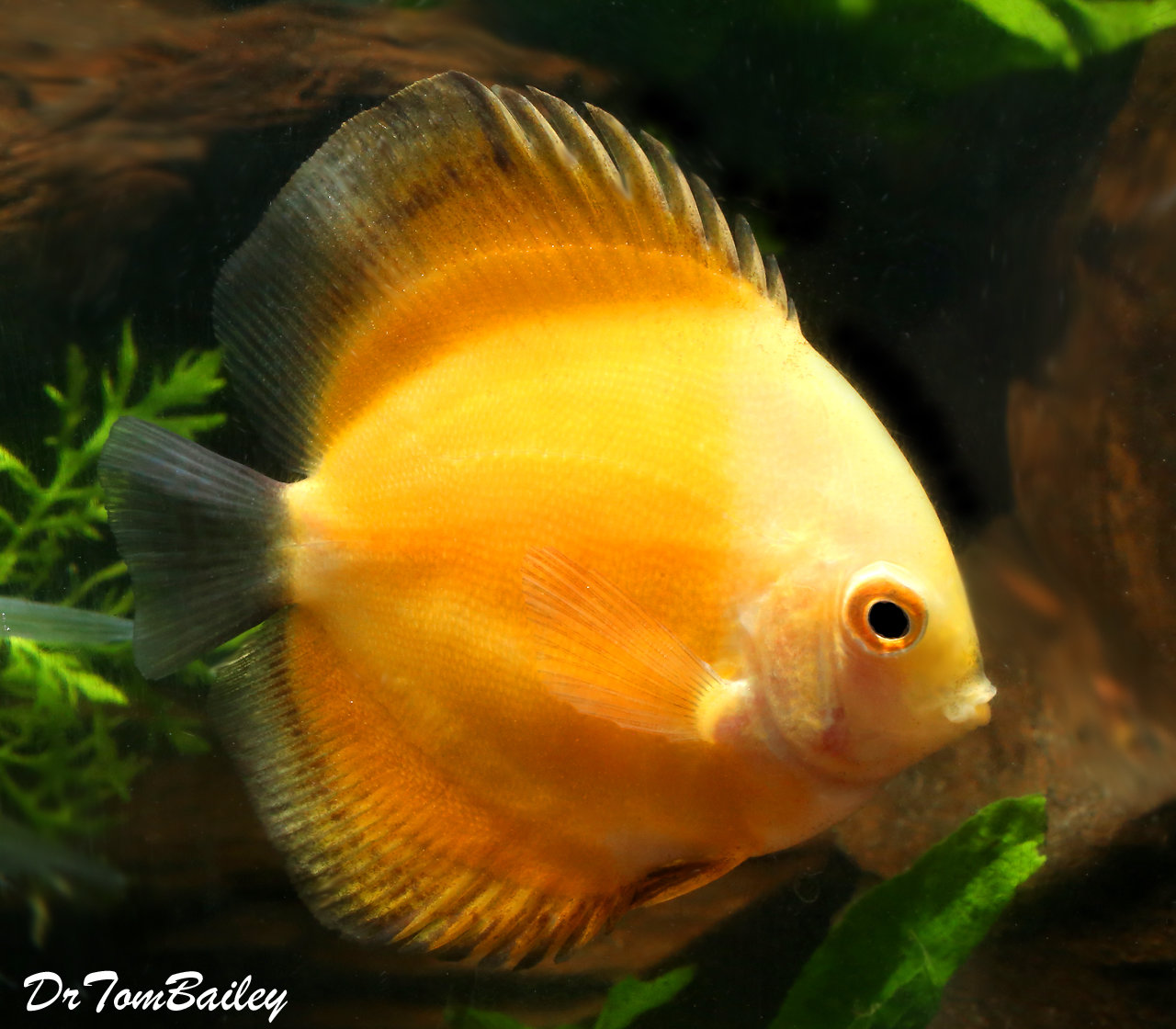 "Premium Rare New, Yellow Marlboro Discus, Size: 3"" to 3.5"""