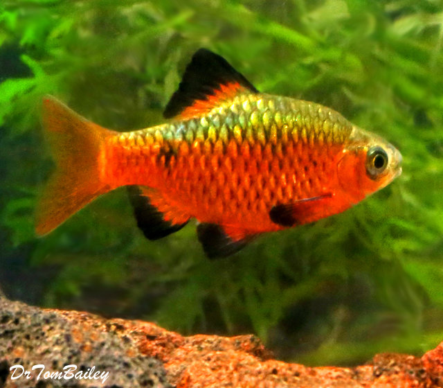 """Premium MALE Rosy Barb, Size: 1"""" to 1.5"""""""