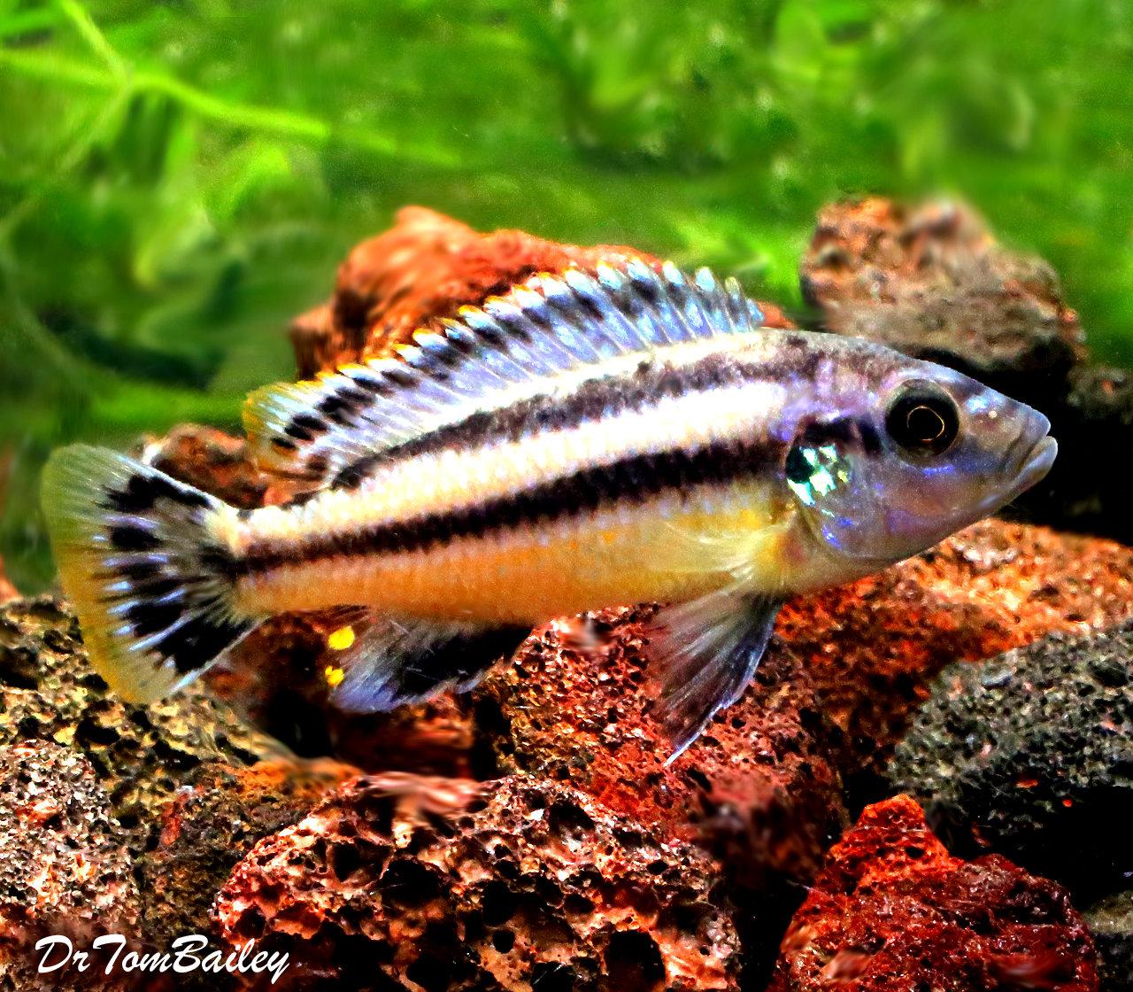 "Baby Lake Malawi Melanochromis Chipokae Mbuna Cichlid, 1"" to 1.2"" long."