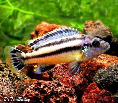 Premium Melanochromis Chipokae, Mbuna Cichlid from Lake Malawi, Size: 1.5
