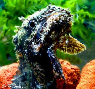 Premium WILD, Rare Marbled Lion Fish, Size: 3.5