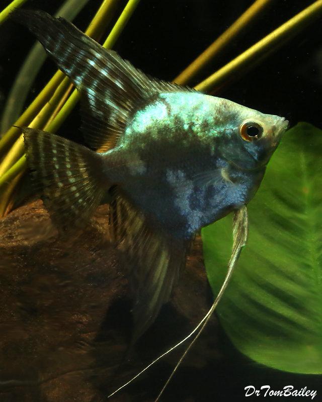 """Premium Rare and New, Blue Smoke Pinoy Angelfish, Size: 2"""" to 2.5"""""""