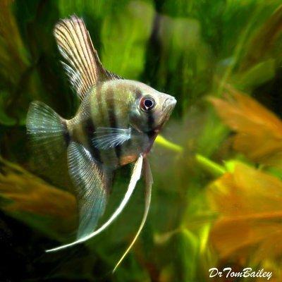 Premium Silver Angelfish, Size: 1