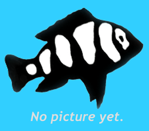 "Premium Black Pearlscale Angelfish, Size: 2"" to 2.5"""