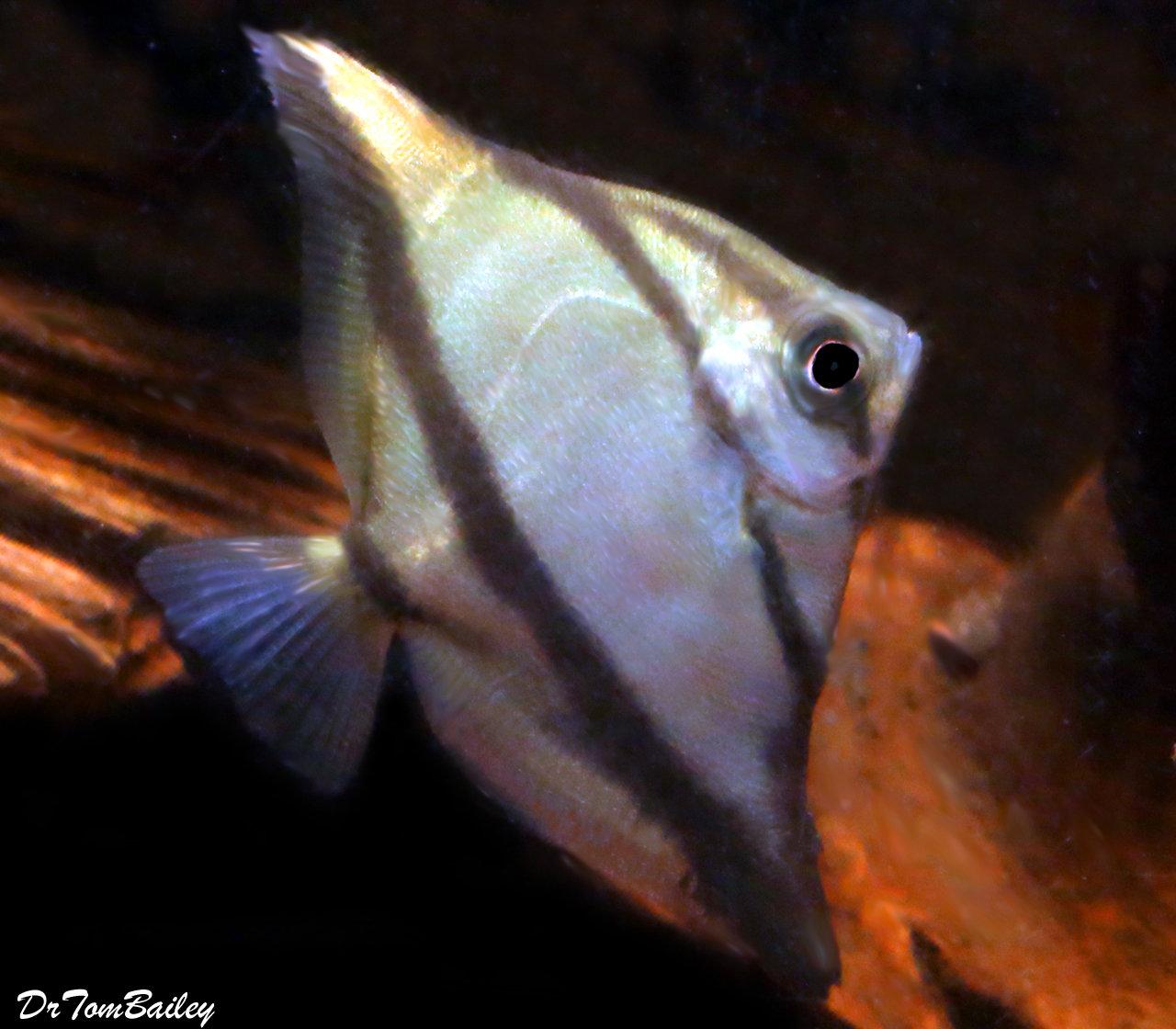 """Premium Freshwater Mono. Sebae, Size: 2"""" to 2.5"""""""