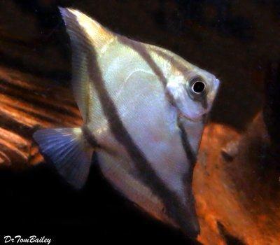 Premium Freshwater Mono. Sebae, Size: 2
