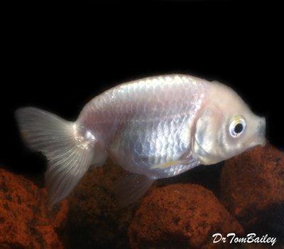 Premium Rare Pearl White Ranchu Goldfish, Size: 2.5