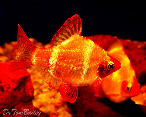 """Premium Gold Tiger Barb, Size: 1"""" to 1.2"""""""