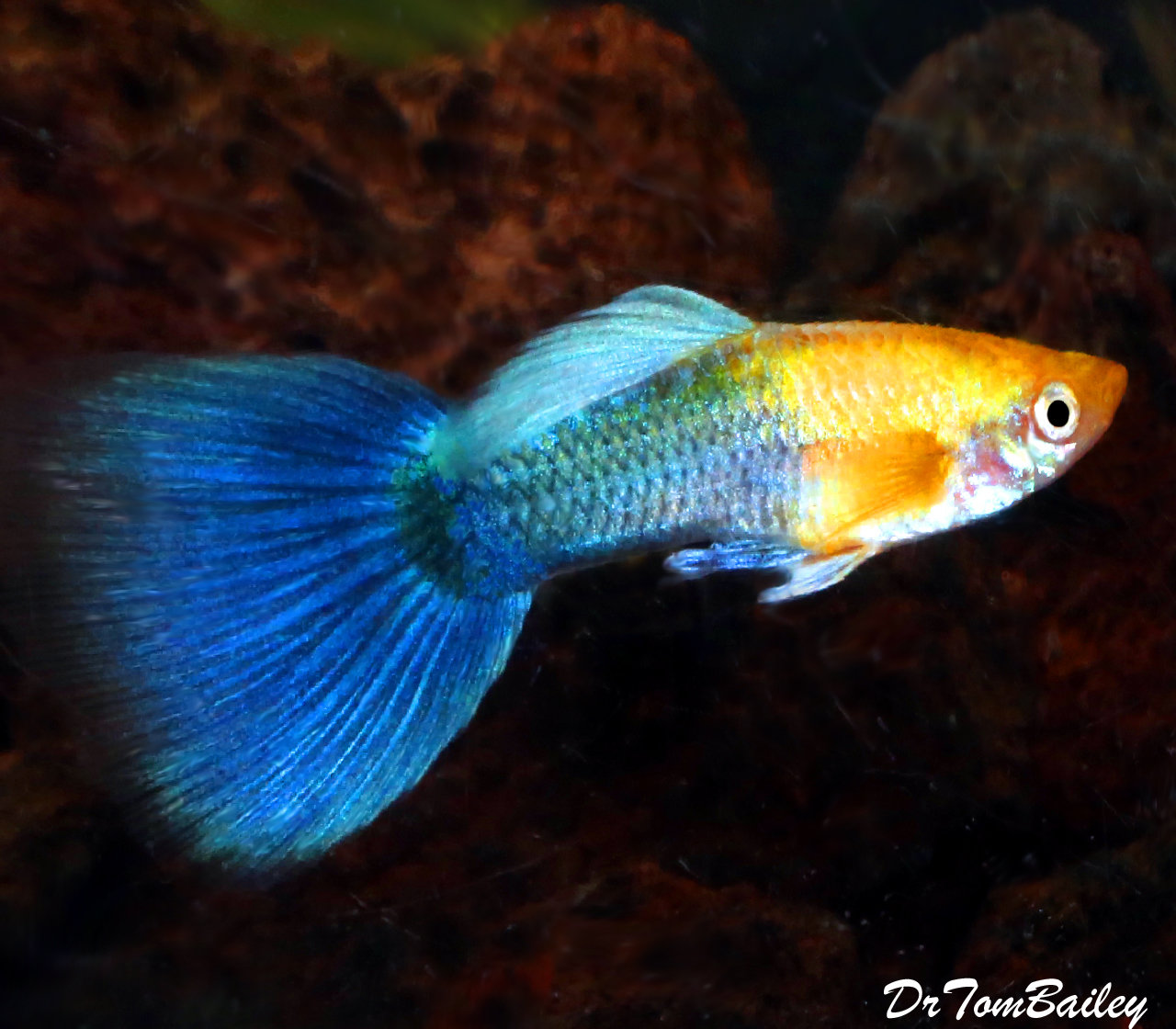 "Premium MALE New Hawaiian Sunset Fancy Guppy, Size: 1"" to 1.5"""