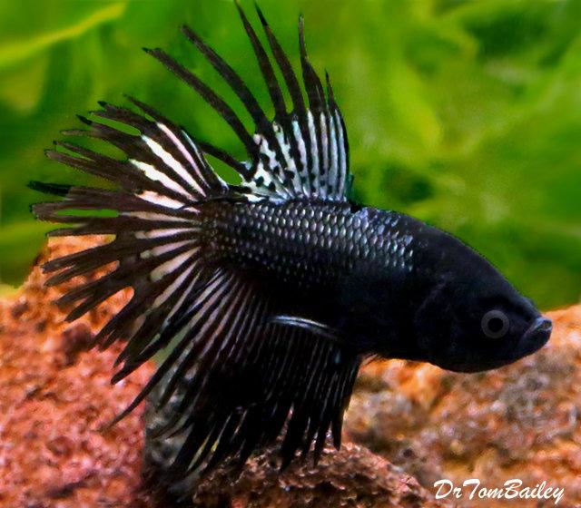 "Premium MALE, Rare, Black Orchid Crowntail Betta Fish, Size: 2"" to 2.5"""