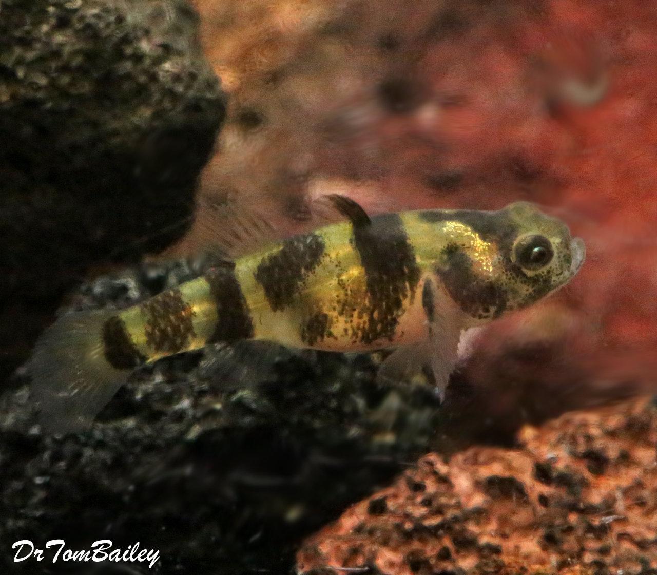"Premium Rare WILD, Freshwater Bumblebee Goby, Nano Fish, Size: 0.75"" to 1"""