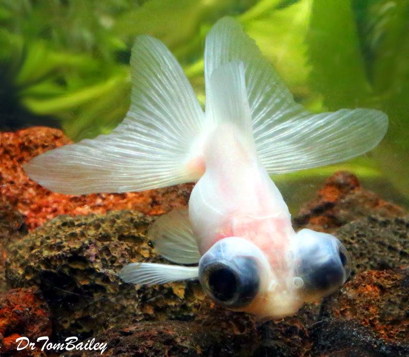 "Premium WYSIWYG Rare Pearl White Butterfly-Tail Telescope-Eye Goldfish, Size: 2"" to 2.5"""