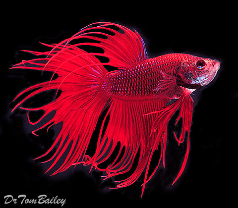 "Premium MALE Red Crowntail Betta Fish, Size: 2.5"" to 3"""