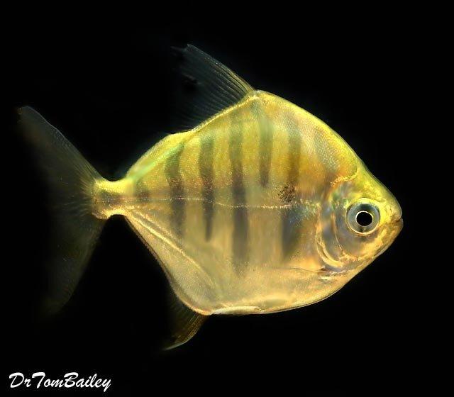 "Premium Rare Tiger Silver Dollar Fish, Size: 2.5"" to 3"""