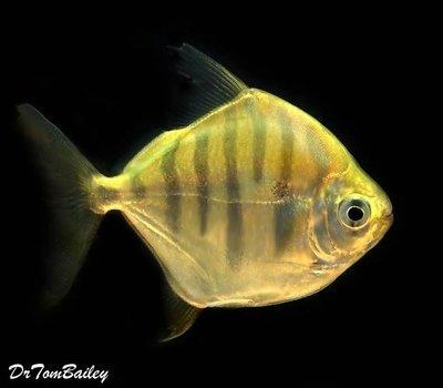 Premium Rare Tiger Silver Dollar Fish, Size: 2.5
