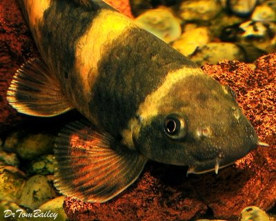 Premium Rare Panda Garra Algae Eating Catfish, Size: 1.5
