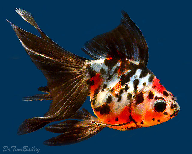 "Premium Calico Ryukin Goldfish, Size: 3"" to 3.5"""