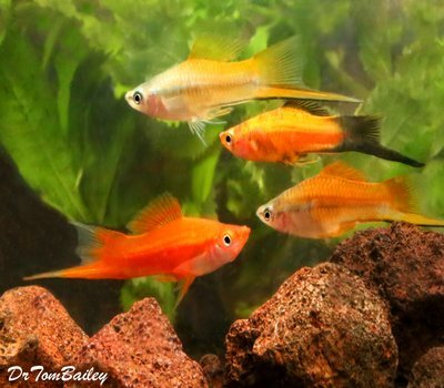Premium MALE Assorted Swordtails, Males Only, Size: 1.5