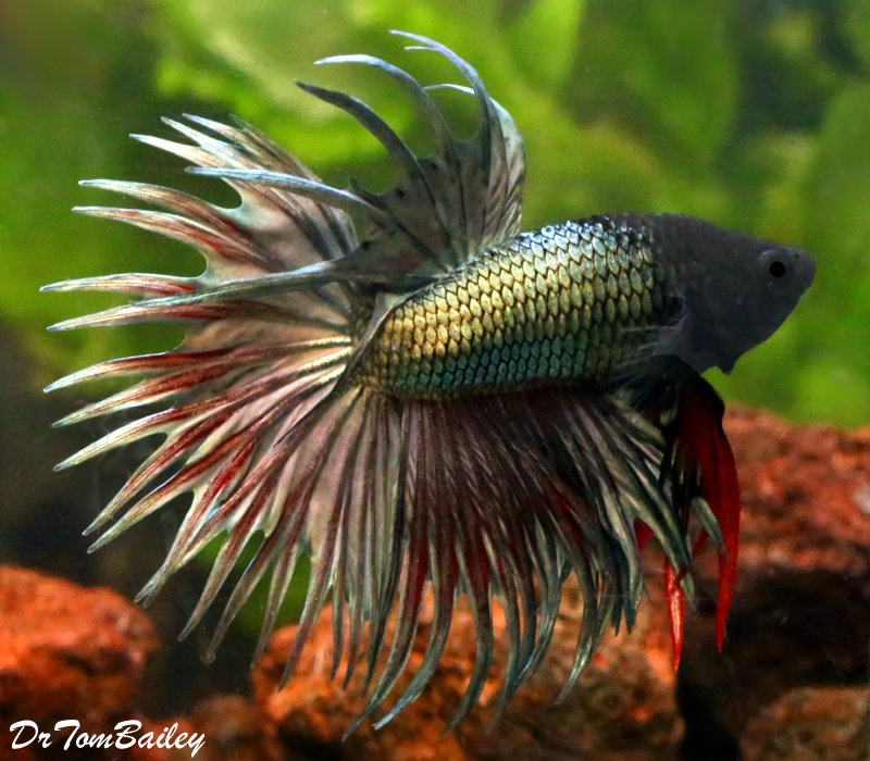 """Premium MALE Green Crowntail Betta Fish, Size: 2.5"""" to 3"""""""