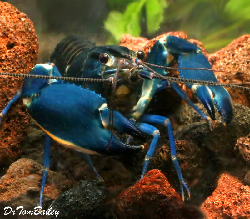 "Premium Rare Blue Moon II Lobster, Size: 3"" to 3.5"""