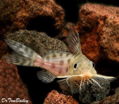 Premium Rare Synodontis Ocellifer Catfish, Size: 1.5