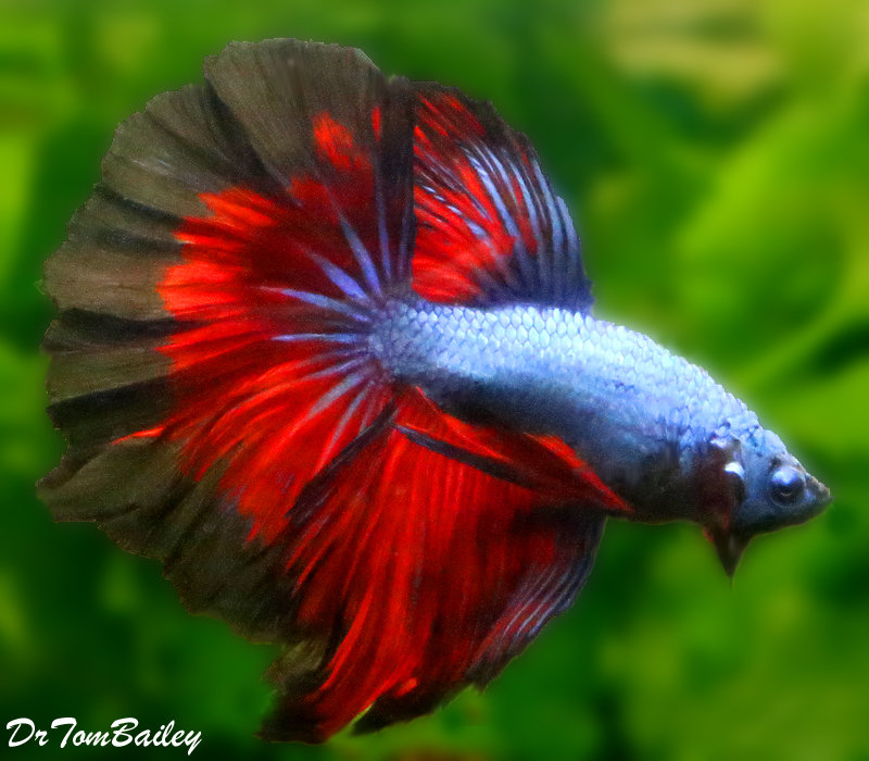 "Premium MALE Show Rose Petal Unique Halfmoon Betta Fish, Size: 2.5"" to 3"""