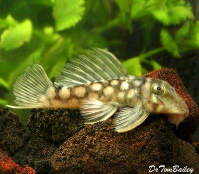 Premium WILD, Rare Polka Dot Plecostomus Catfish, Spectracanthicus zuanoni, L020, Size: 2.5