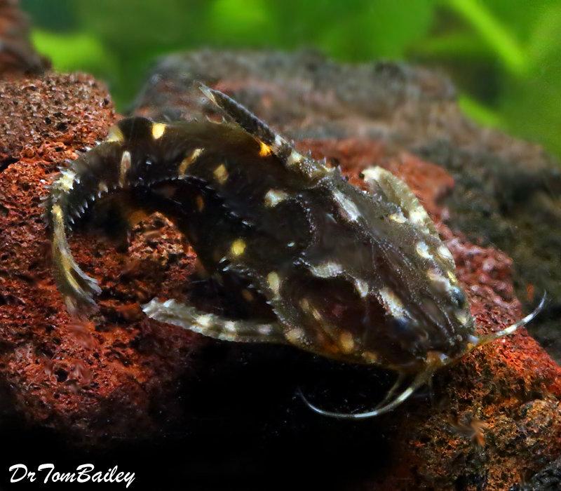 "Premium WILD, Spotted Raphael Talking Catfish, Size: 2.5"" to 3"""