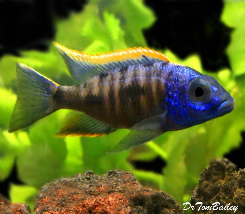"Premium Lake Malawi Yellow Blaze Aristochromis Cichlid from Zimbabwe Rock, Size: 3"" to 3.5"""