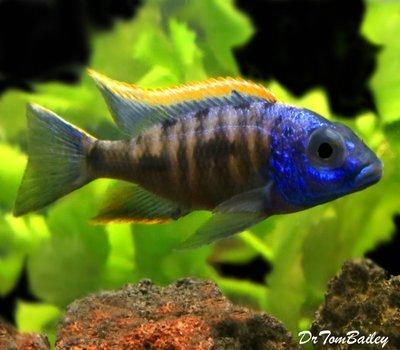 Premium Lake Malawi Yellow Blaze Aristochromis Cichlid from Zimbabwe Rock, Size: 3