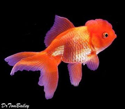 Premium Red Oranda Goldfish, Size: 3.5