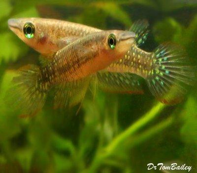 Premium Rare Striped Panchax Killifish, Size: 2