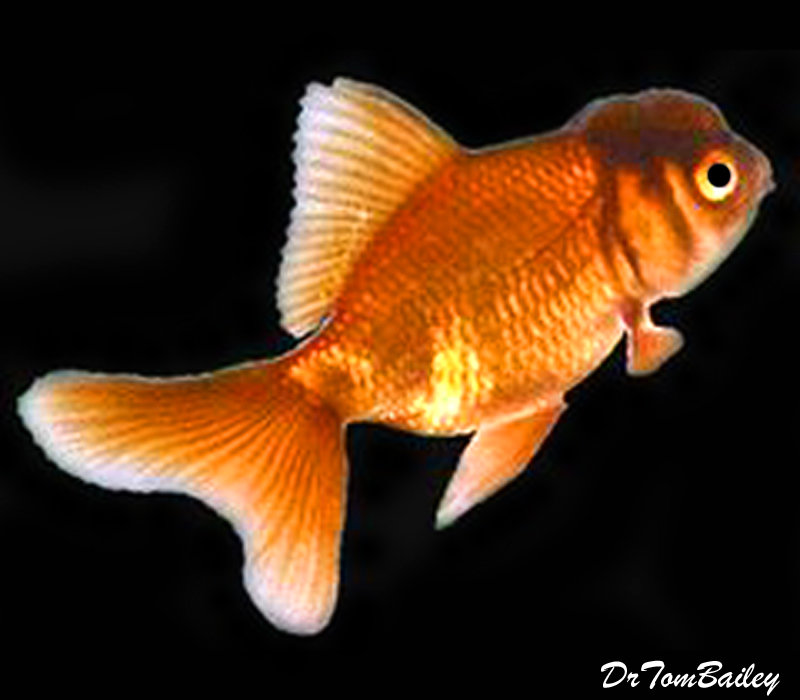 "Premium Rare Chocolate Oranda Goldfish, Size: 2"" to 2.5"""