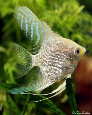 Premium Platinum Angelfish, Size: 1.5
