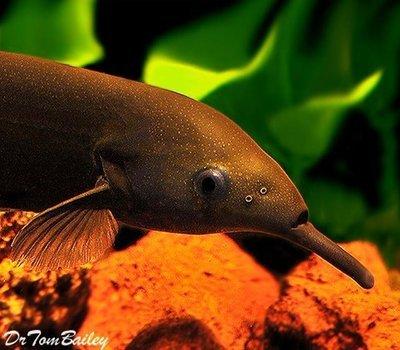 Premium WILD, Elephant Nose Fish, Size: 3.5