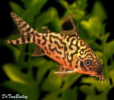 Premium WILD, Reticulatus Corydoras Catfish, Size: 2