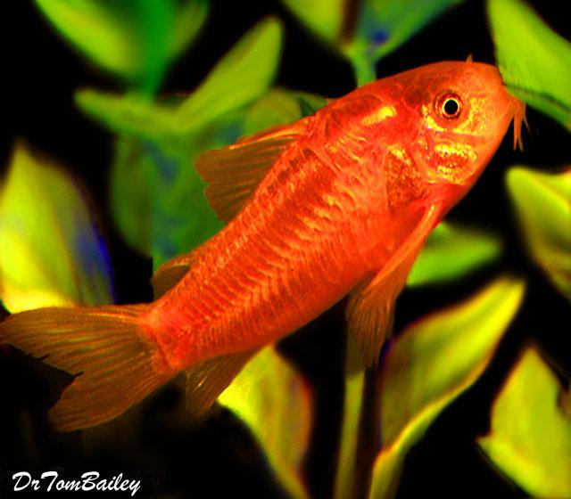 "Premium WILD, Neon Orange Cory Catfish, also called the Gold Laser Cory, Size: 1.5"" to 2"""