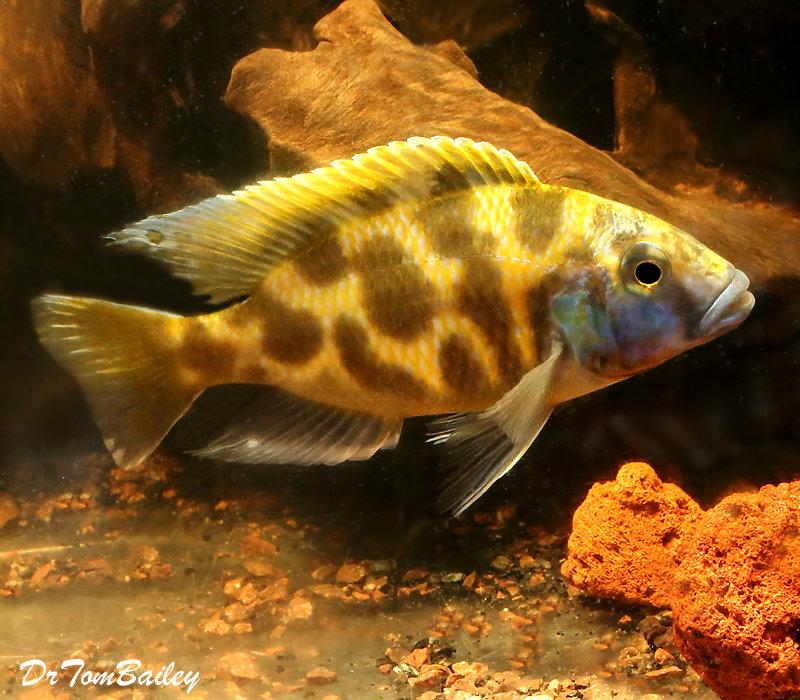 "Premium Lake Malawi Venustus Hap. Cichlid, Size: 4.5"" to 5"""