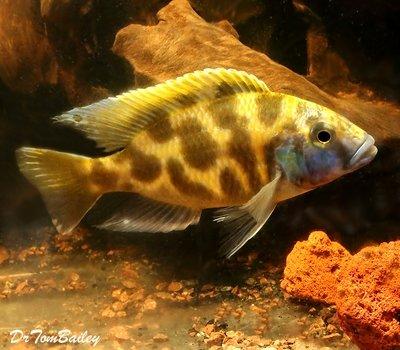 Premium Lake Malawi Venustus Hap. Cichlid, Size: 4.5