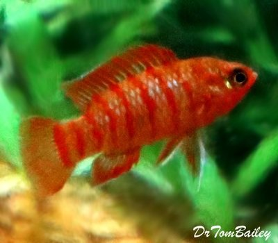 Premium WILD, Scarlet Badis, Nano Fish, Size: 0.5
