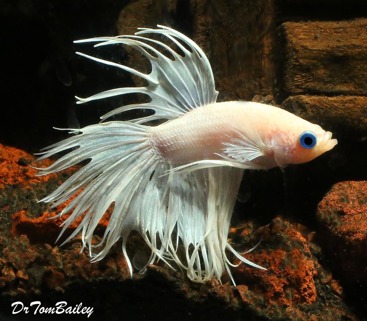 "Premium MALE Rare Pearl White Crowntail Betta Fish, Size: 2"" to 2.5"""