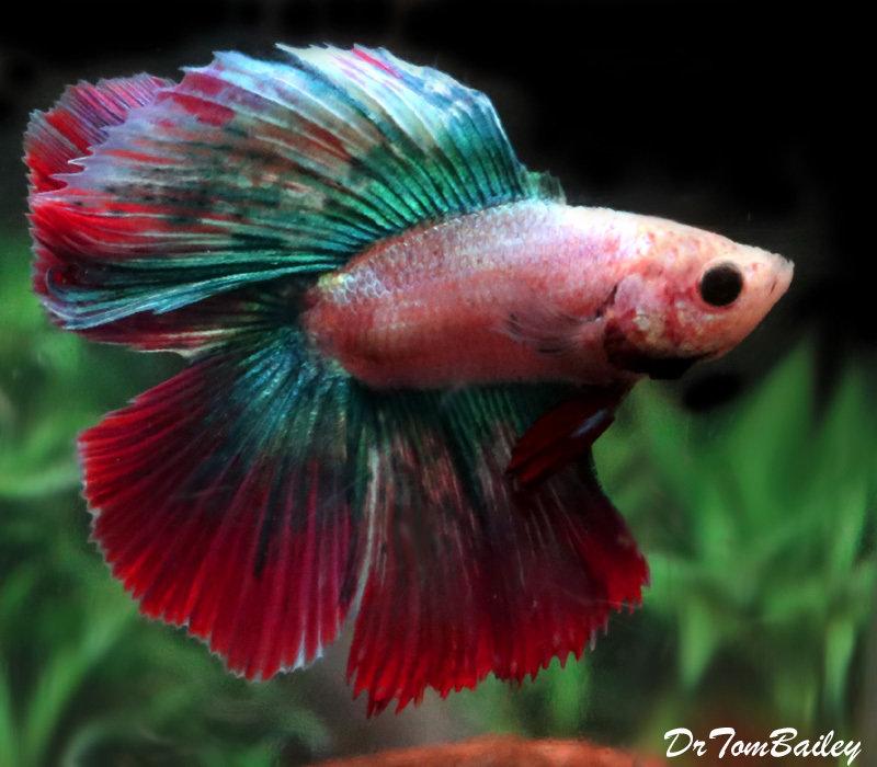 Premium MALE Rare WYSIWYG Doubletail Halfmoon Betta Fish