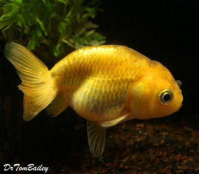Premium Golden Ranchu Goldfish, Size: 1.5