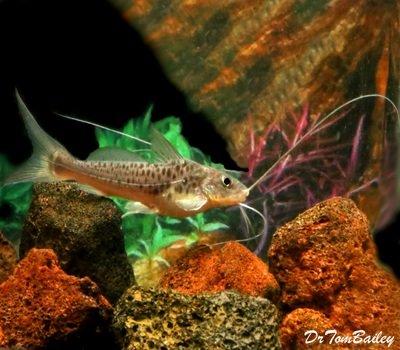 Premium WILD, Rare Pimelodus Maculatus Catfish, Size: 8
