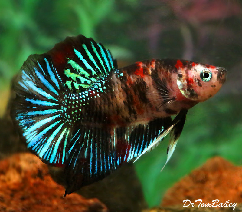 "Premium MALE Rare Super Delta Koi Betta Fish, Size: 2.5"" to 3"""