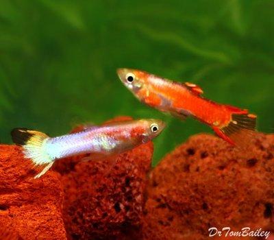 Premium MALE, New Rare, Fancy Rainbow Endler's Livebearer, Nano Fish, Size: 1