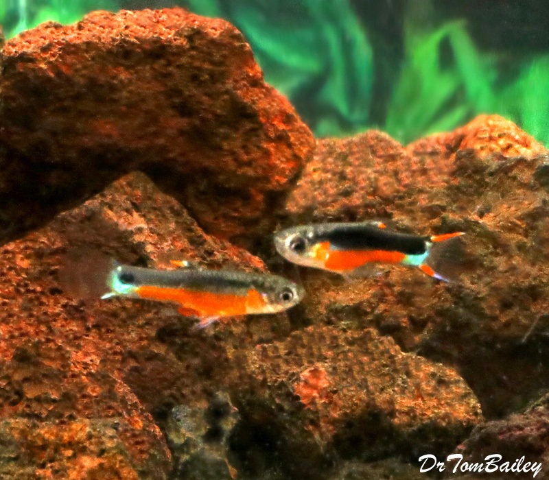 "Premium MALE, New Rare, Fancy Santa Maria Hybrid Livebearer, Nano Fish, Size: 0.75"" to 1"""