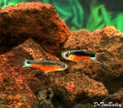 Premium MALE, New Rare, Fancy Santa Maria Hybrid Livebearer, Nano Fish, Size: 0.75