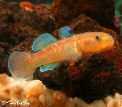 Premium New & Very Rare Red Spotted Goby, Size: 1.5